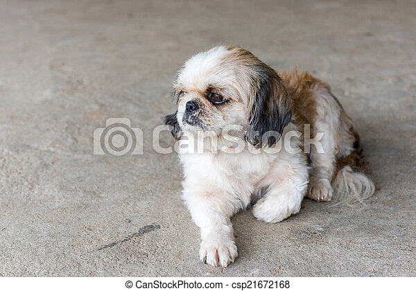 Shih tzu dog - csp21672168