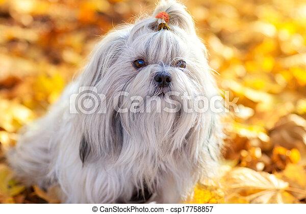 Shih tzu dog - csp17758857