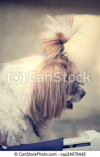 Shih tzu dog - csp24978442