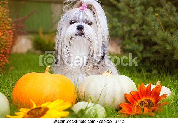 Shih tzu dog - csp25913742