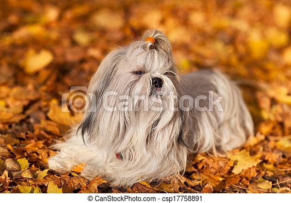 Shih tzu dog - csp17758891