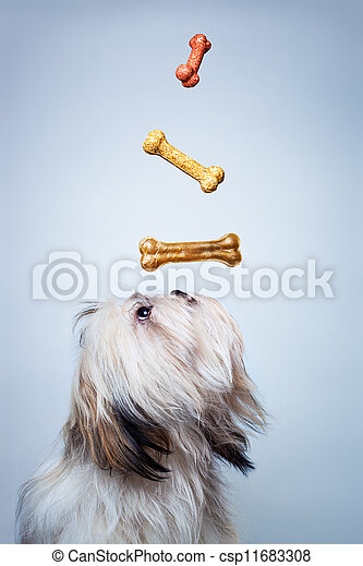 Shih tzu dog - csp11683308