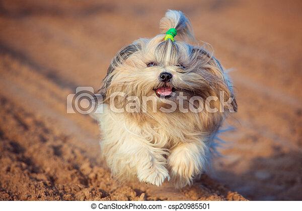 Shih tzu dog - csp20985501