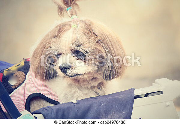 Shih tzu dog - csp24978438