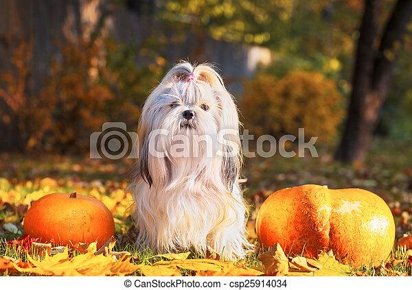 Shih tzu dog - csp25914034