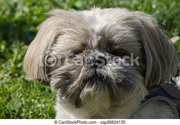 shih tzu  dog - csp26824135