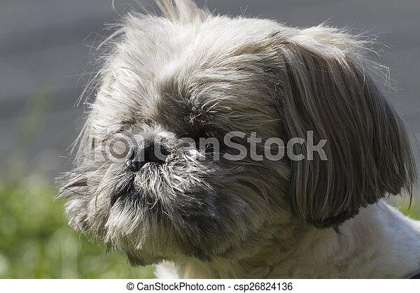 shih tzu  dog - csp26824136