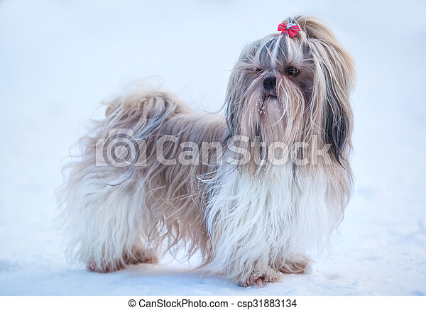 Shih tzu dog - csp31883134