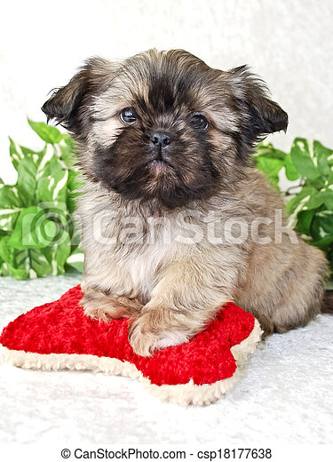 Shih Tzu Puppy Shih Tzu Puppy With Red Dog Toy