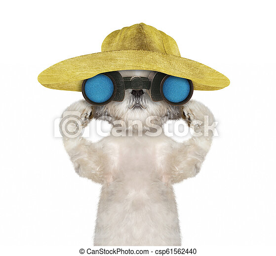 e3229c86 Shitzu dog in a hat looking and observing with binoculars -- isolated on  white -