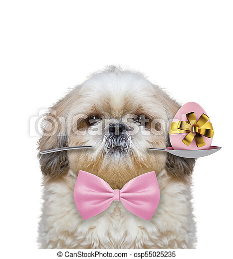 Shitzu dog with spoon and easter egg. Isolated on white - csp55025235