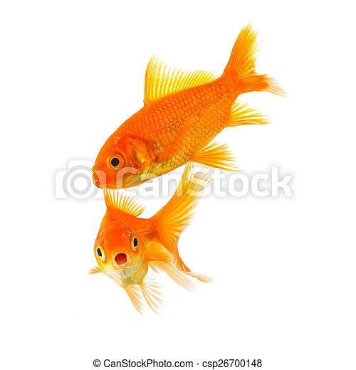 shocked goldfish couple  - csp26700148