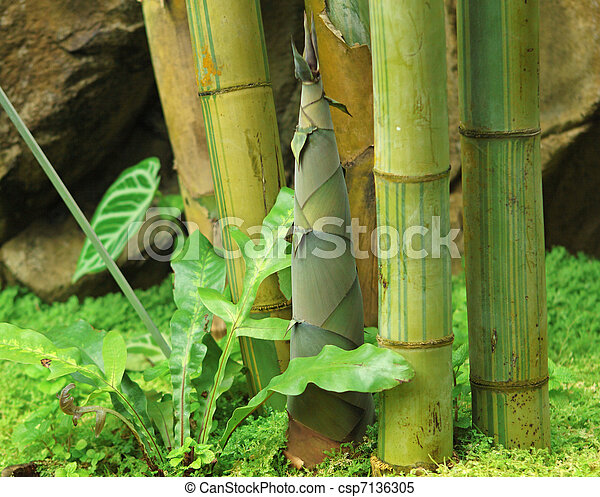 Shoot of Bamboo in the rain forest - csp7136305