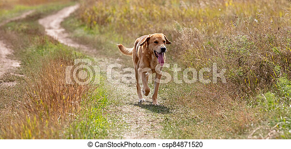 Shot of a brown hound dog running and hunting - csp84871520