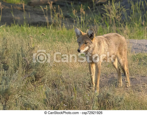shot of a coyote in yellowstone np - csp72921926