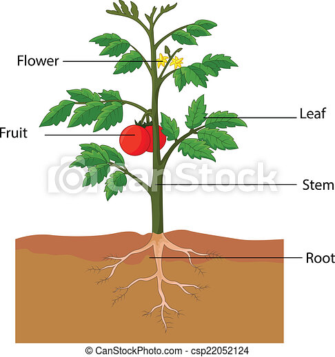 vector illustration of showing the parts of a tomato plant laughing hyena clipart Laughing Hyena