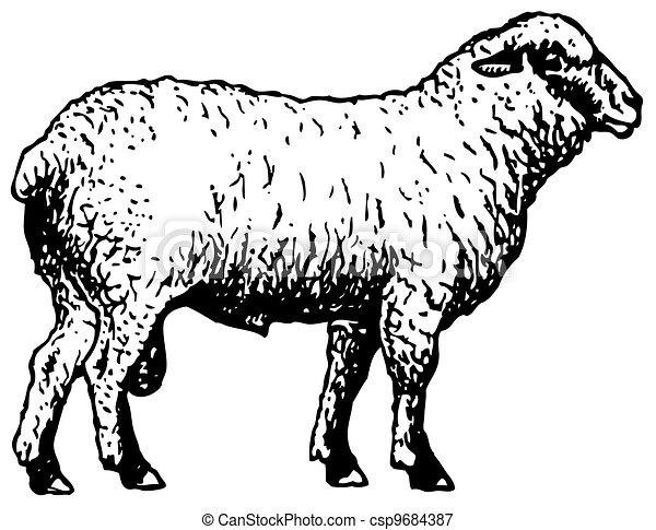 Shropshire sheep - csp9684387
