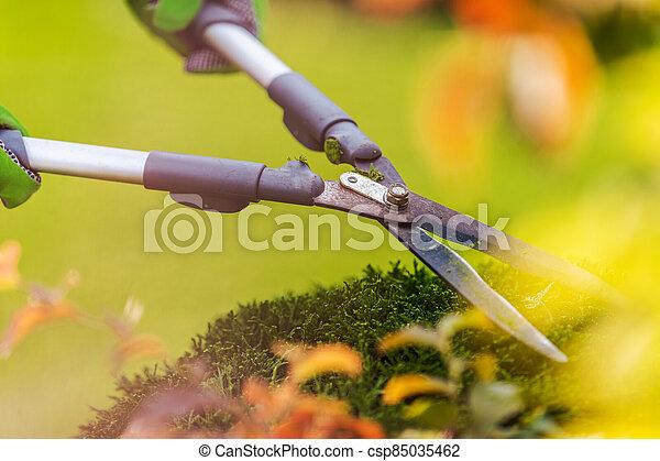 Shrubs Trimming Using Large Pro Garden Scissors - csp85035462