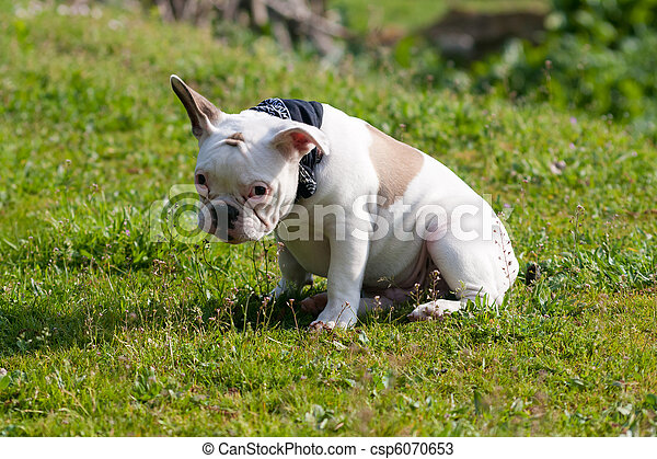 Shy French Bulldog sitting on grass - csp6070653