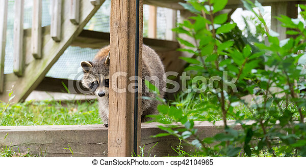 Shy raccoon looks at the camera from behind a post. - csp42104965