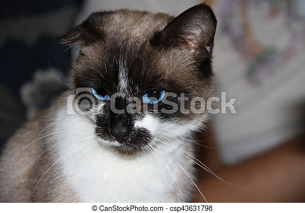 Siamese cat with blue eyes, facial close up - csp43631798