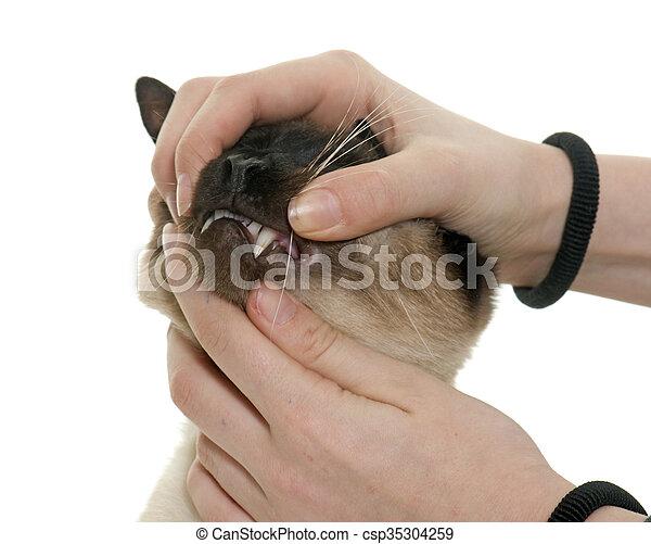 Siamesisk Tänder Katt Siamesisk Katt Bakgrund Tänder Främre
