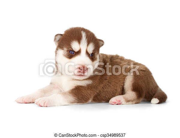 Siberian Cooper Red Husky Puppy Siberian Husky Puppy Side View