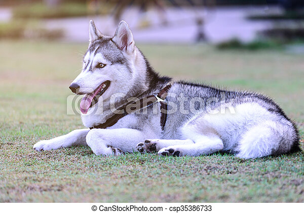Siberian Husky Cute Dog Sleeping On Grass In Park