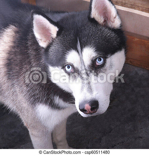 Siberian Husky Dog With Blue Eye Looks To Right Husky Dog Has Black And White Coat Color Close Up Siberian Husky Dog With
