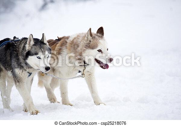 Siberian Husky Dogs In The Snow Dog Sledding With Huskies