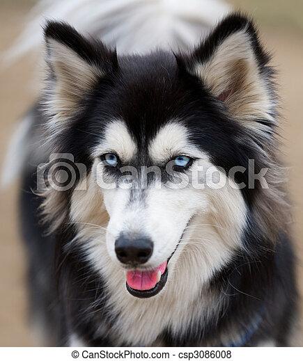 Siberian Husky face close up. - csp3086008