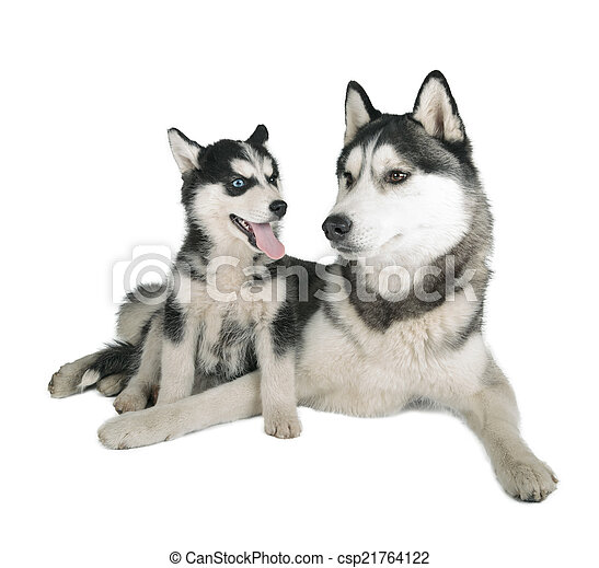 Siberian Husky Father and Son - csp21764122