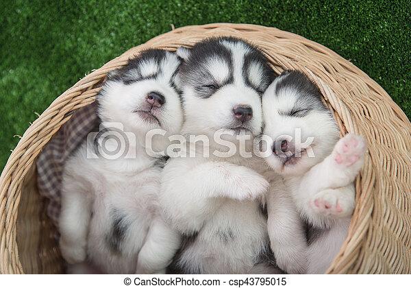 Cute siberian husky puppies sleeping in basket bed siberian husky puppies sleeping in basket bed csp43795015 voltagebd Image collections