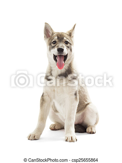 Siberian Husky puppy on a white background - csp25655864