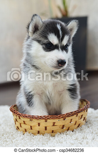 Siberian Husky Puppy With Blue Eyes In The Rose Petals