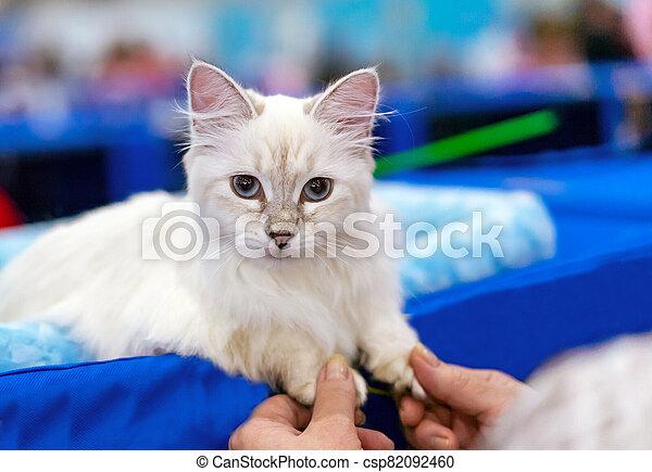 Siberian longhair cat with blue eyes. Kitten breed Neva Masquerade. - csp82092460