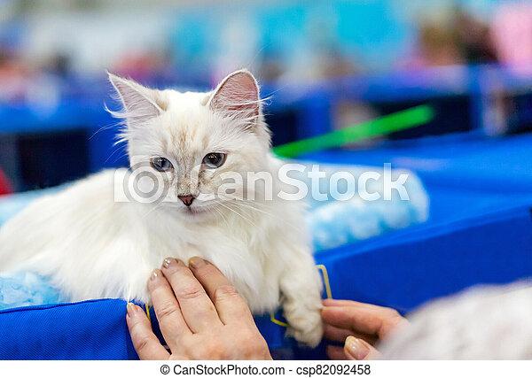 Siberian longhair cat with blue eyes. Kitten breed Neva Masquerade. - csp82092458