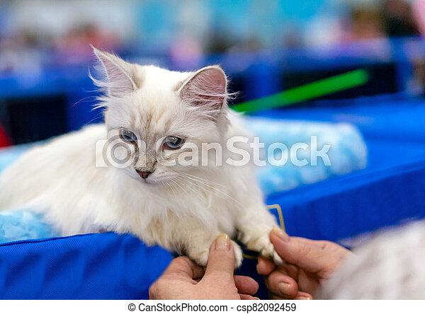 Siberian longhair cat with blue eyes. Kitten breed Neva Masquerade. - csp82092459