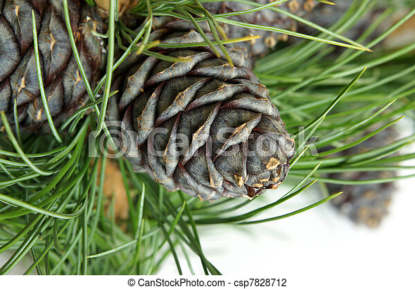 Siberian pine branch with cones  - csp7828712
