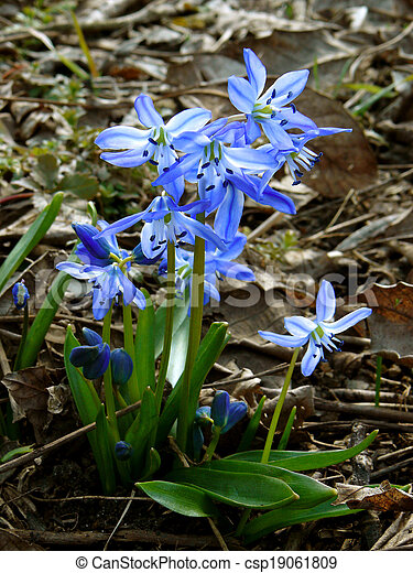 First spring flowers siberian squill siberian squill csp19061809 mightylinksfo
