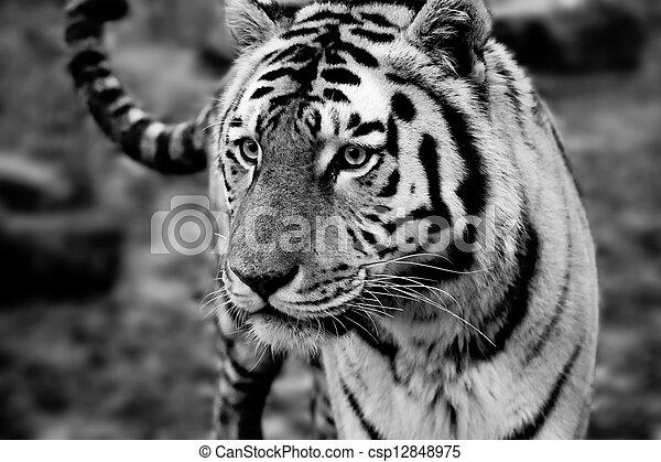 Siberian Tiger - csp12848975