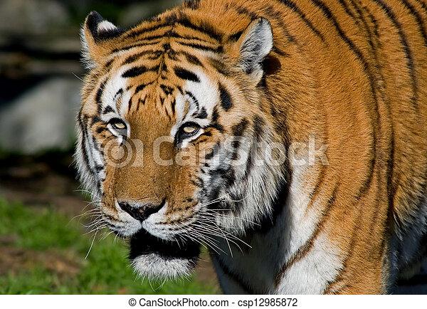Siberian Tiger - csp12985872