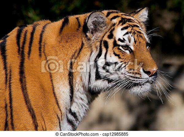 Siberian Tiger  - csp12985885