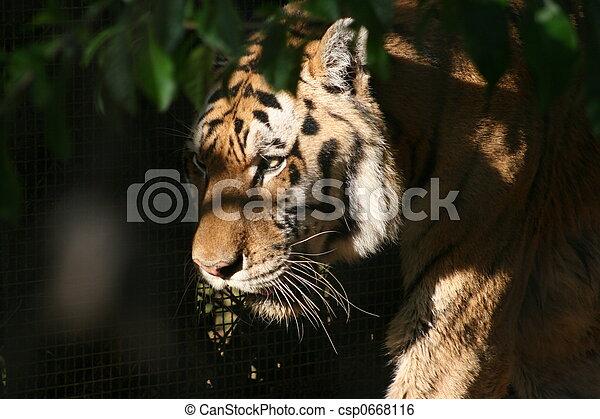 Siberian Tiger - csp0668116