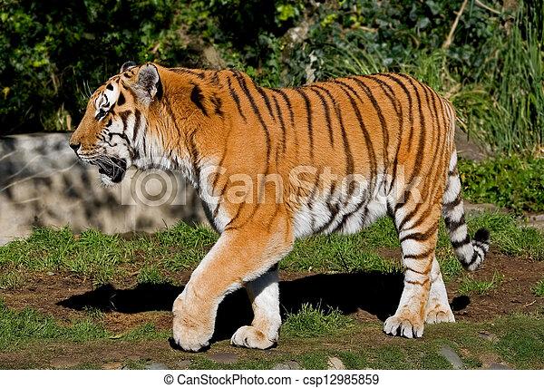 Siberian Tiger  - csp12985859
