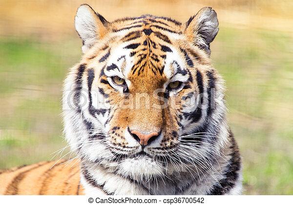 Siberian tiger - csp36700542