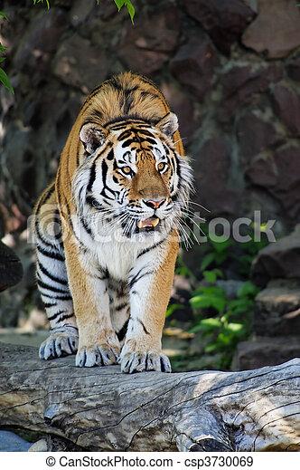Siberian tiger - csp3730069