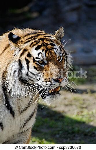 Siberian tiger - csp3730070