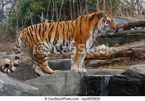 Siberian Tiger - csp4635830