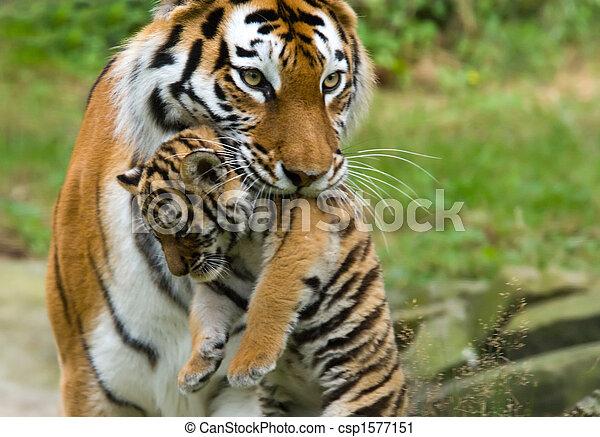 Siberian tiger with cub - csp1577151